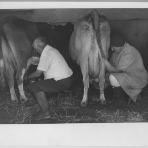 Hand milking the cows.  Roy and Eileen Thomas, Middle Georgia Farm Nancledra, Cornwall.